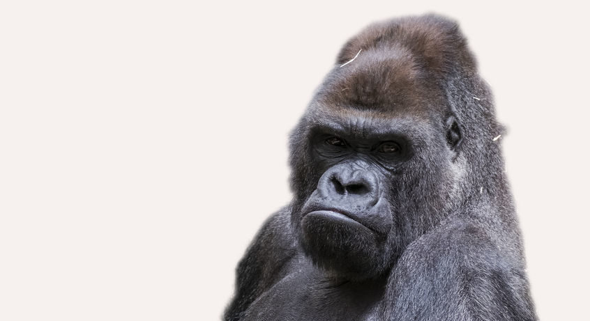Gorillas are plaguing Google